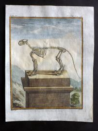 Buffon First Edition C1770 Antique Hand Col Print. Skeleton of Big Cat 9-17